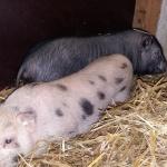 schweine-neu