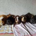 5meerschweine