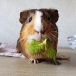 meerschweinchen-salat